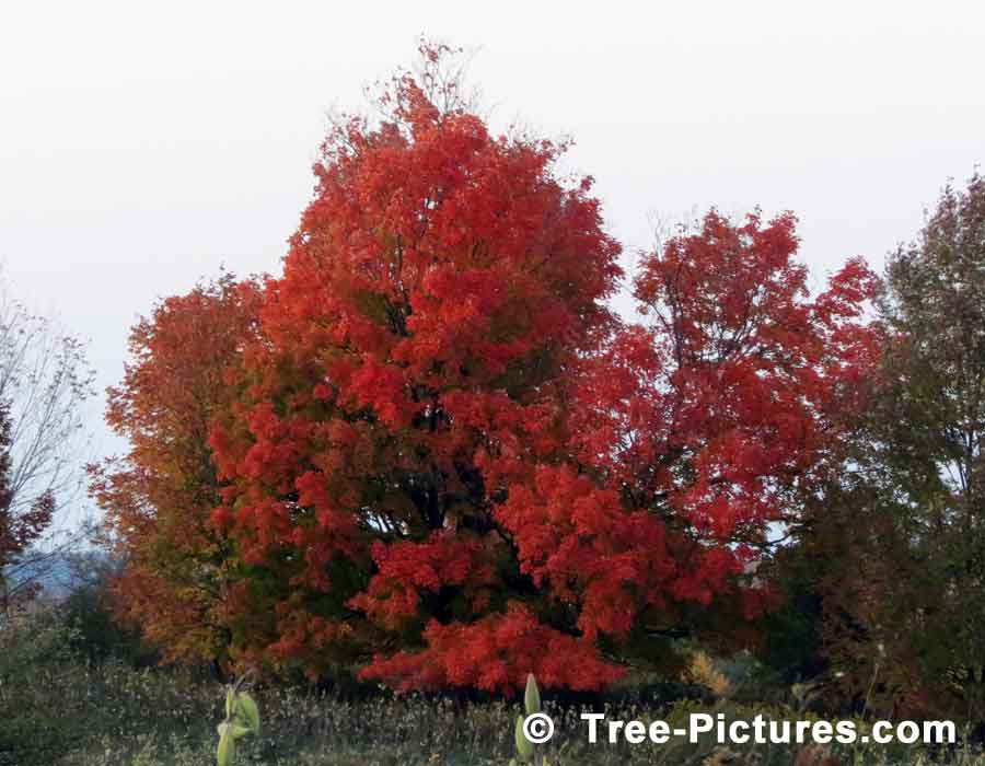 Oak Trees, Beautiful Oak Tree Displaying its Striking Red Leaves in Fall | Trees:Oak:Red at Tree-Pictures.com