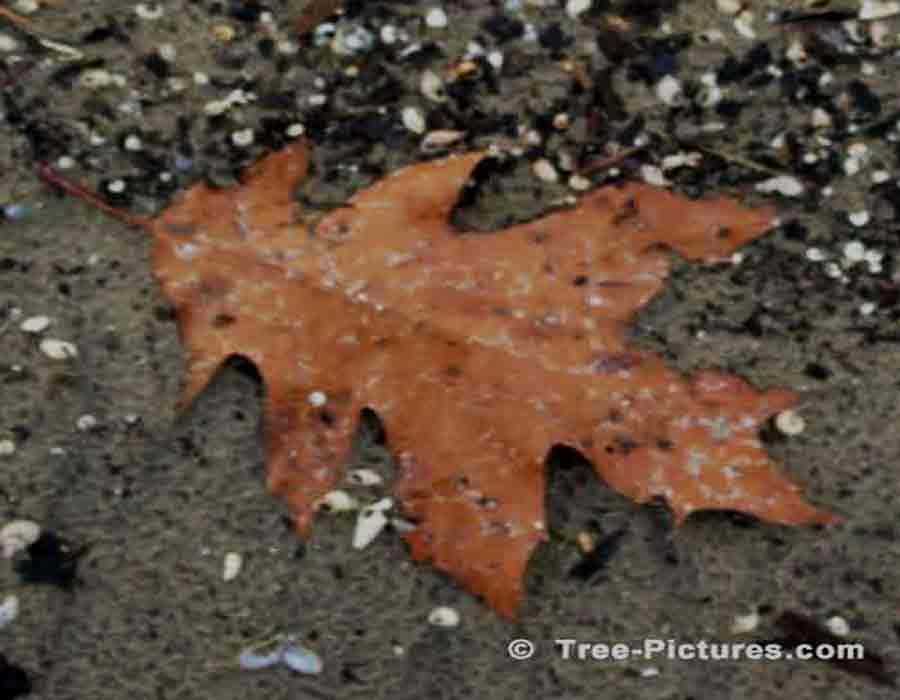 Dead Oak Tree Leaf Picture, Picture of a Brown Dead Oak Tree Leaf at the Beach | Trees:Oak:Red at Tree-Pictures.com