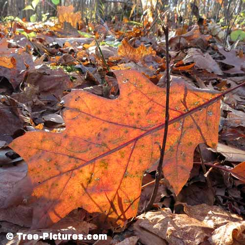 Oak Tree Pictures, Colorful Wind Blown Oak Leaf on the Forest Floor