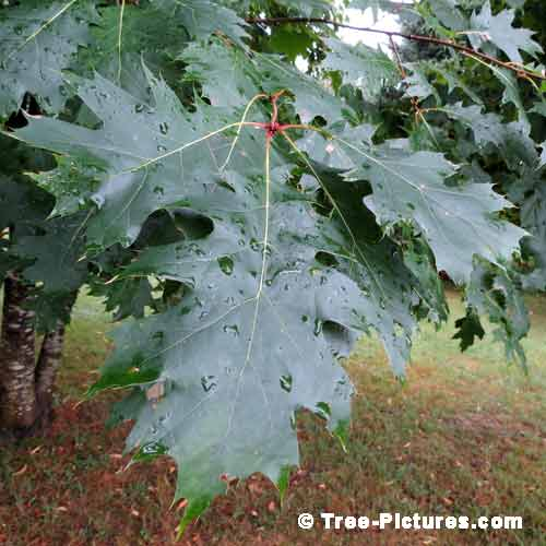 Oak Tree Pictures, Monster Oak Tree Leaf with Rain Drops Image