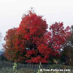 Oak Trees, Large Old Oak Tree in Full Red Autumn Leaf Colors | Tree:Oak+Autumn at Tree-Pictures.com