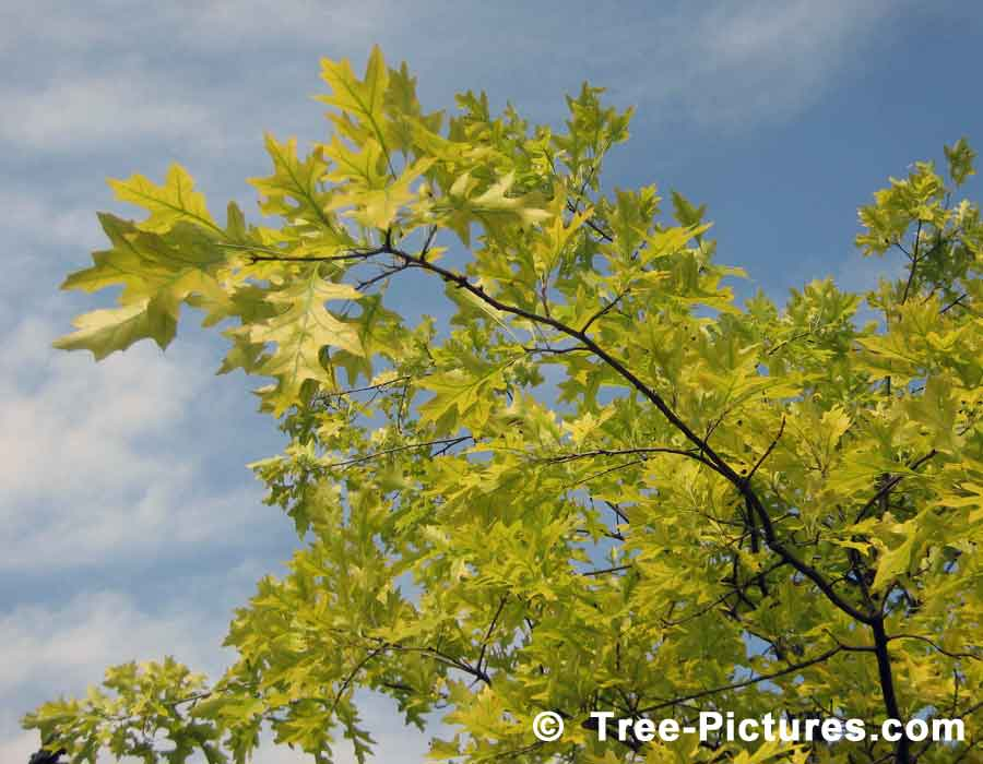 Oak Trees, Striking Bright Green Leaves of Pin Oak Tree | Trees:Oak:Red at Tree-Pictures.com