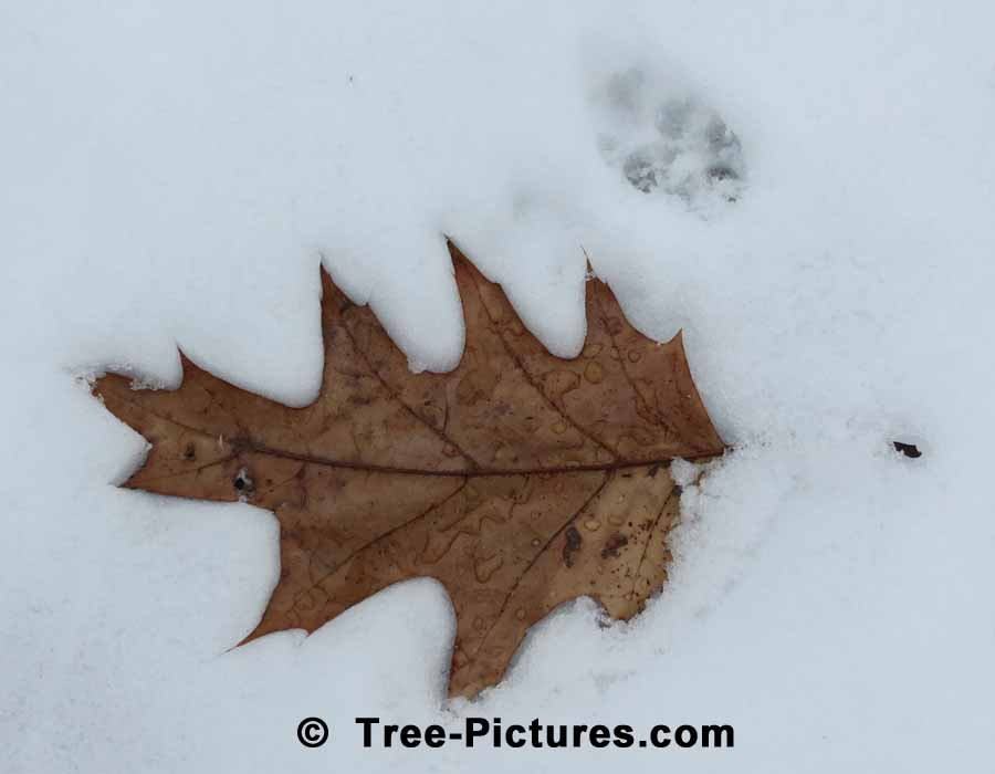 Oak Leaf: Red Oak Leaf Frozen In Time | Oak Trees at Tree-Pictures.com