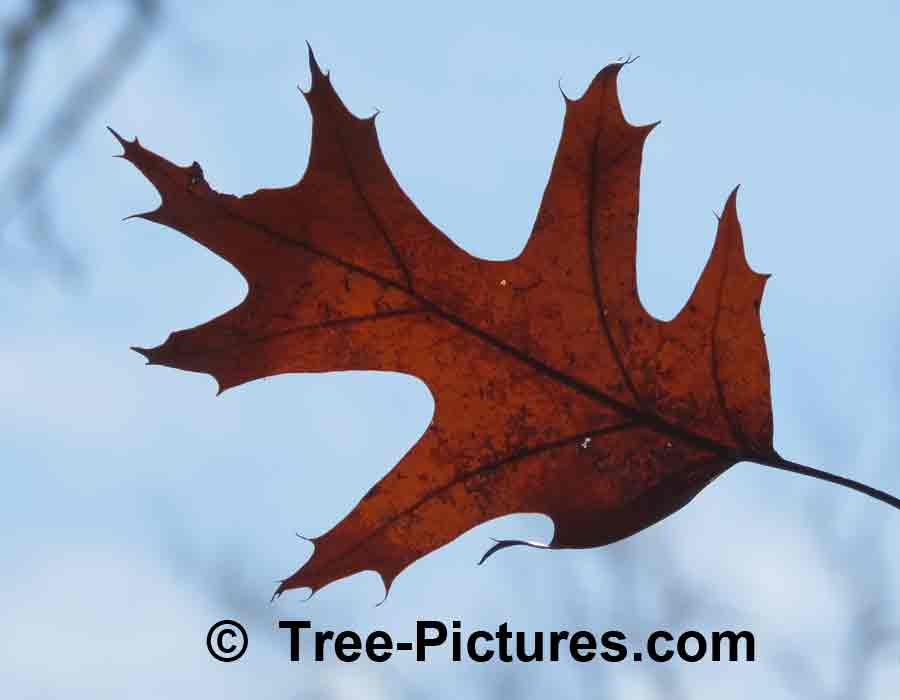 Oak Tree Leaf: Oak Leaf in Sun | Trees:Oak:Leaf at Tree-Pictures.com