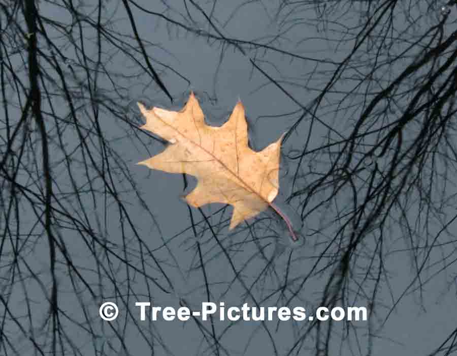 Oak Leaf Floating in a Forest Pond | Trees:Oak:Red at Tree-Pictures.com