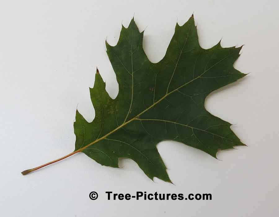 Single Leaf from a Red Oak Tree | Trees:Oak:Red at Tree-Pictures.com