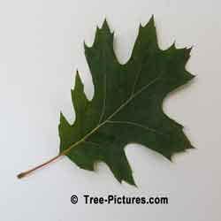 Pictures of Oak Trees, Red Oak Tree Leaf Is Green In Summer | Tree:Oak+Red+Leaf at Tree-Pictures.com