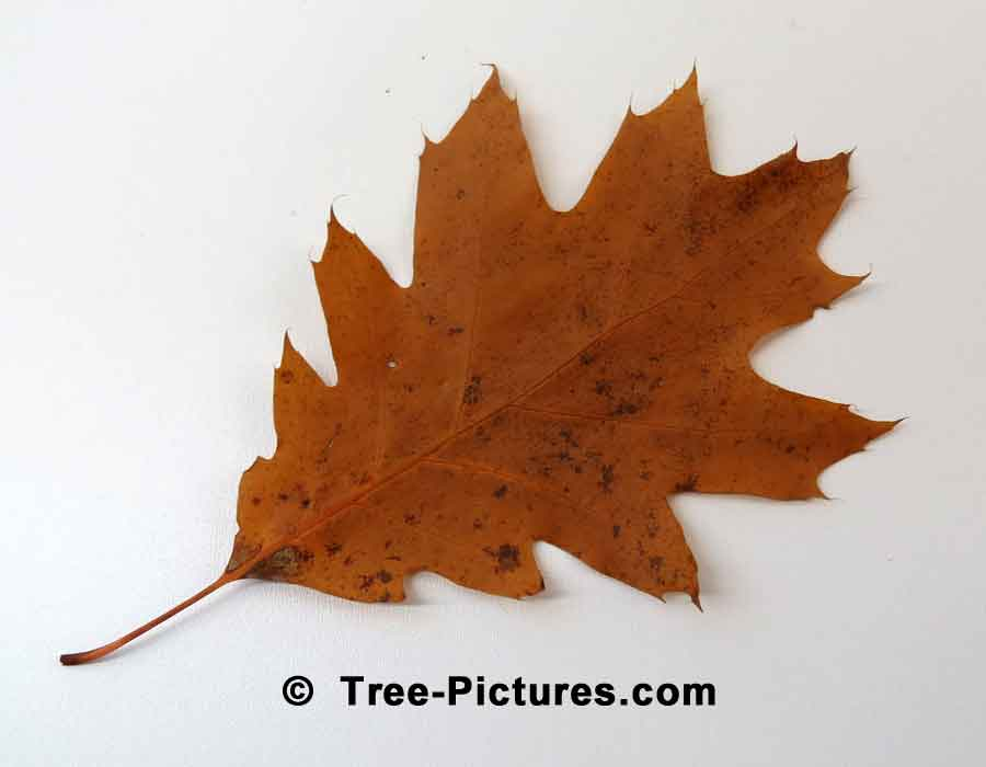 Red Oak: Autumn Leaf of Red Oak Tree | Trees:Oak:Red at Tree-Pictures.com