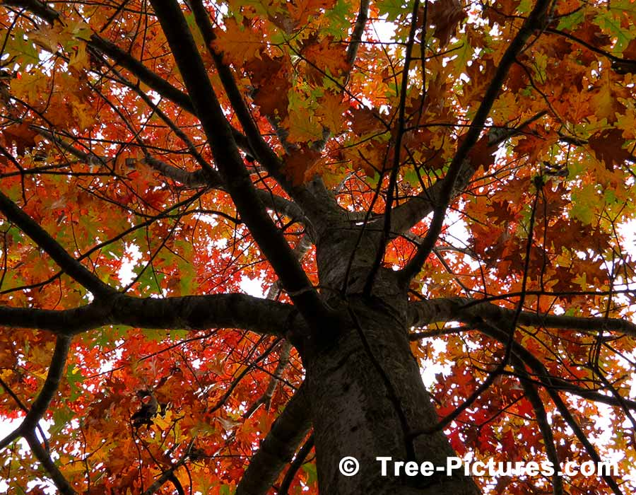 Images Of Oak Trees Picture Inside The Majestic Red Tree Looking Up In