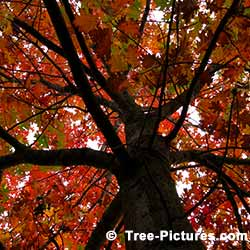 Red Oak Tree, Striking Canopy of Red Oak Tree at Tree-Pictures.com