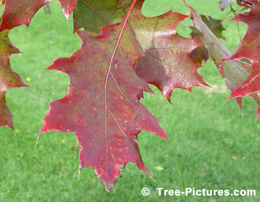 Autumn Oak Leaves: Red Oak Tree Species Leaves in Fall | Trees:Oak:Red:Leaf at Tree-Pictures.com