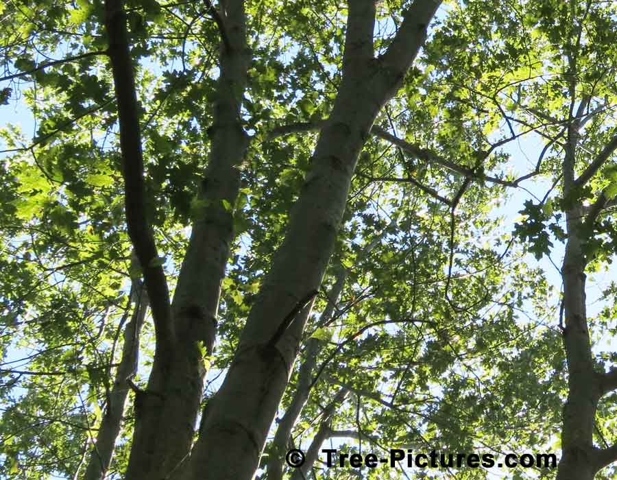 Red Oak Tree Branches in Summer | Trees:Oak:Red at Tree-Pictures.com