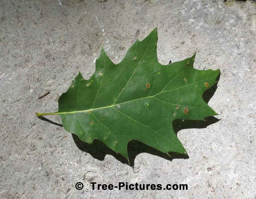 Red Oak Leaf from a Red Oak Tree | Trees:Oak:Red at Tree-Pictures.com