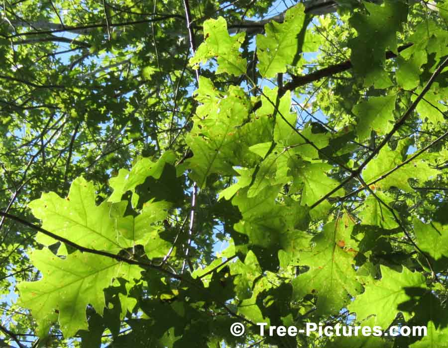 Red Oak Leaves, Leaves from the Red Oak | Trees:Oak:Red at Tree-Pictures.com