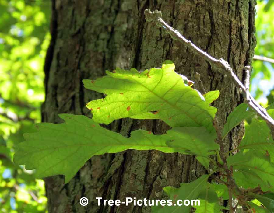 White Oak, Photo Showing the Leaves, Bark and Branches of the White Oak Tree | Trees:Oak:Red at Tree-Pictures.com