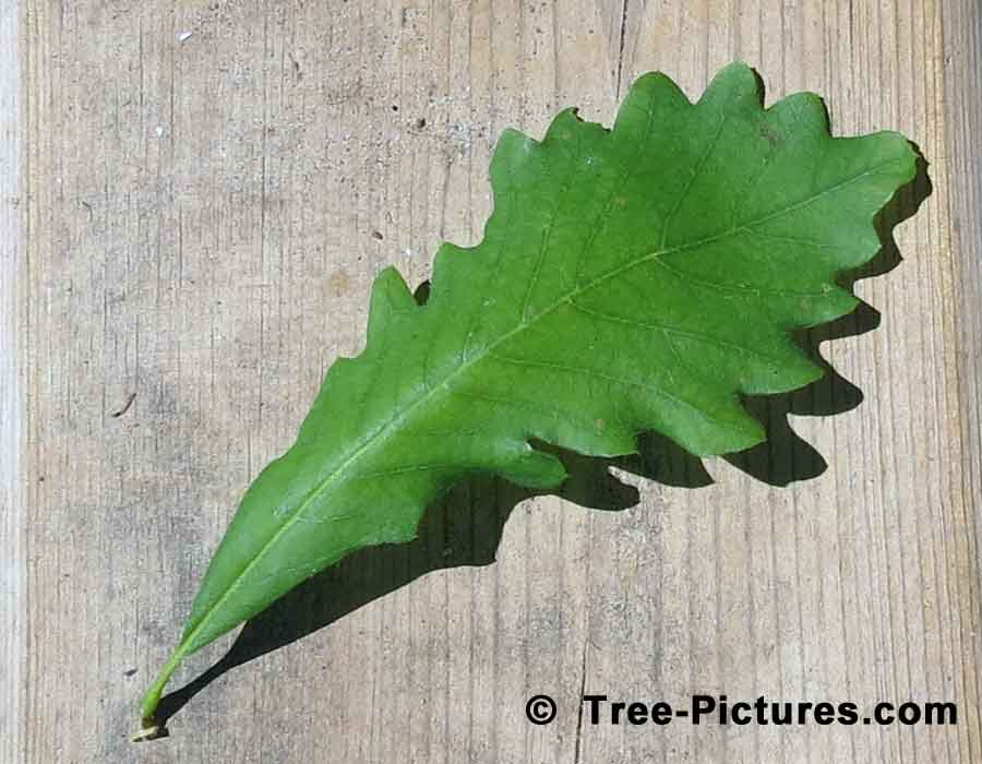 White Oak, New Leaf of White Oak Tree Showing Characteristic Shape | Trees:Oak:Red at Tree-Pictures.com