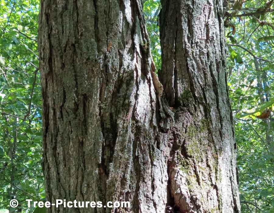 Photo of White Oak Tree Trunk Showing Characteristics of White Oak Bark | Trees:Oak:Red at Tree-Pictures.com