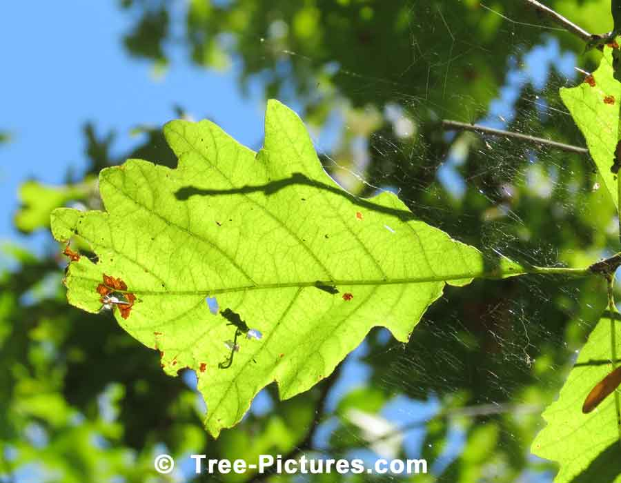 Oak Trees, White Oak Tree Leaf with Accompanying Spider Web | Trees:Oak:Red at Tree-Pictures.com
