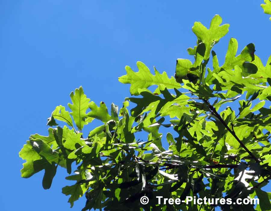 Oak Trees, Striking Photo of White Oak Leaves Against a Blue Summer Sky | Trees:Oak:Red at Tree-Pictures.com