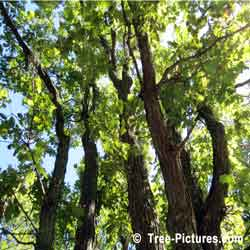 Oak Tree Images, Group of White Oak Trees | Tree:Oak+White at Tree-Pictures.com