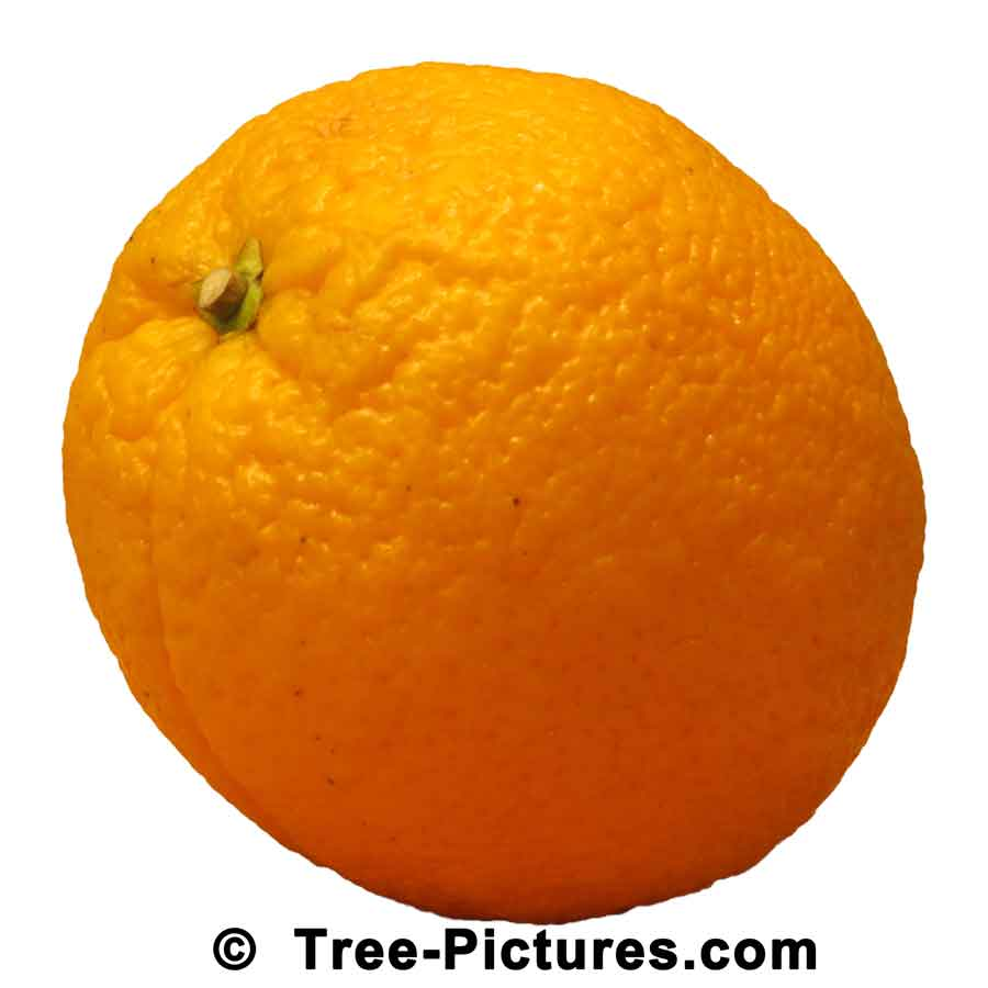 Orange Trees: Citrus Orange Fruit Tree | Orange Trees at Tree-Pictures.com