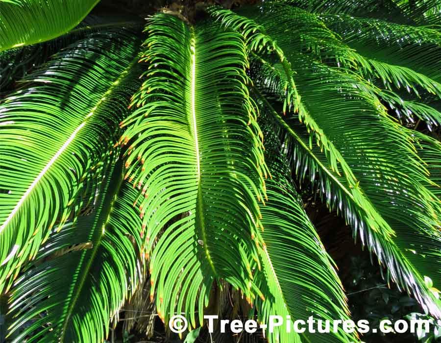 Sago Palm Or Cycas Revoluta Picture