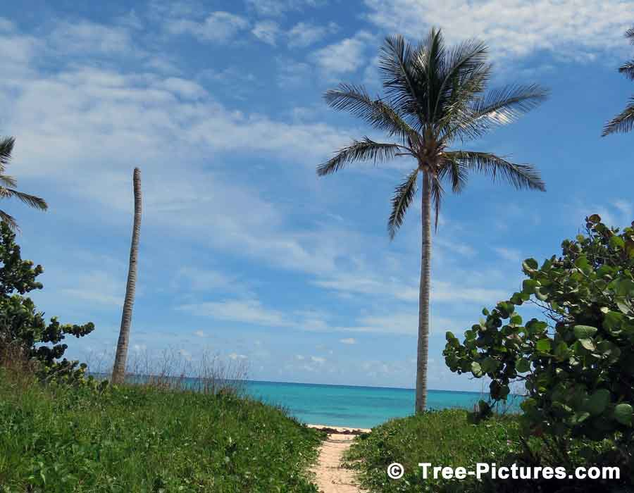 Beach Palm Trees, Photo of Palm Trees on the Sandy Beach Path, St Catherine's Beach, Fort St Catherine, Blackbeard's Hideout, Bermuda