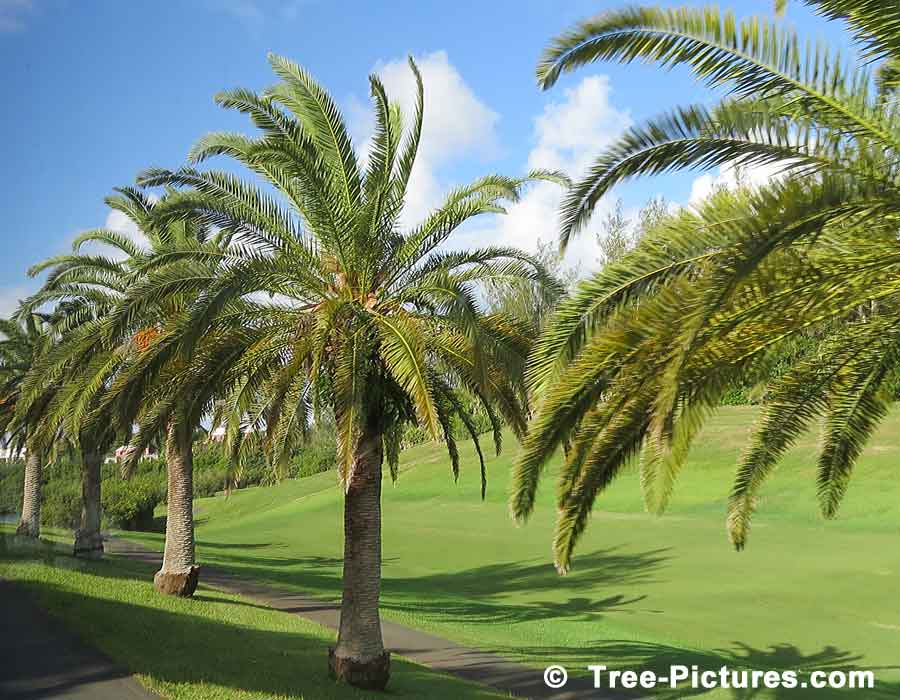 Palm Tree Picture, Photo of row of Palm Trees near St. George Golf Course, Bermuda | Palm Pictures, Tree-Pictures.com