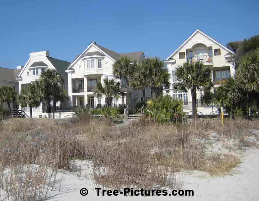 Palm Tree: Beach Palms at Hilton Head, South Carolina US