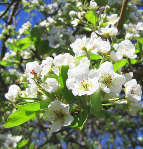 Pear Tree Blossom, Picture of Pear Tree Blossom