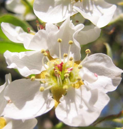 Pear Tree Flower, Picture of Pear Tree Flower