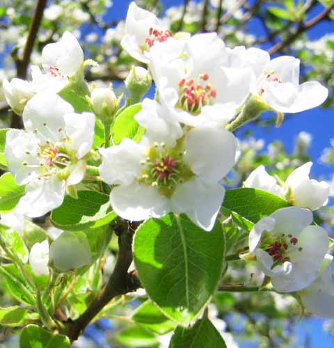 Pear Tree Flowers, Picture of Pear Tree Flowers