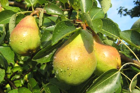 Anjou Pear Tree Picture