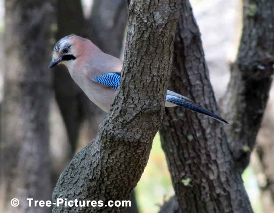 Pine Tree, Pine Branches with Blue Winged Bird | Pine Trees at Tree-Pictures.com