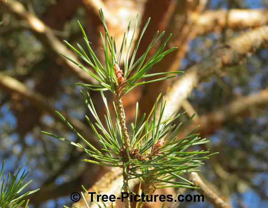 Pines, Scots Pine Needles Branch | Pine Trees at Tree-Pictures.com