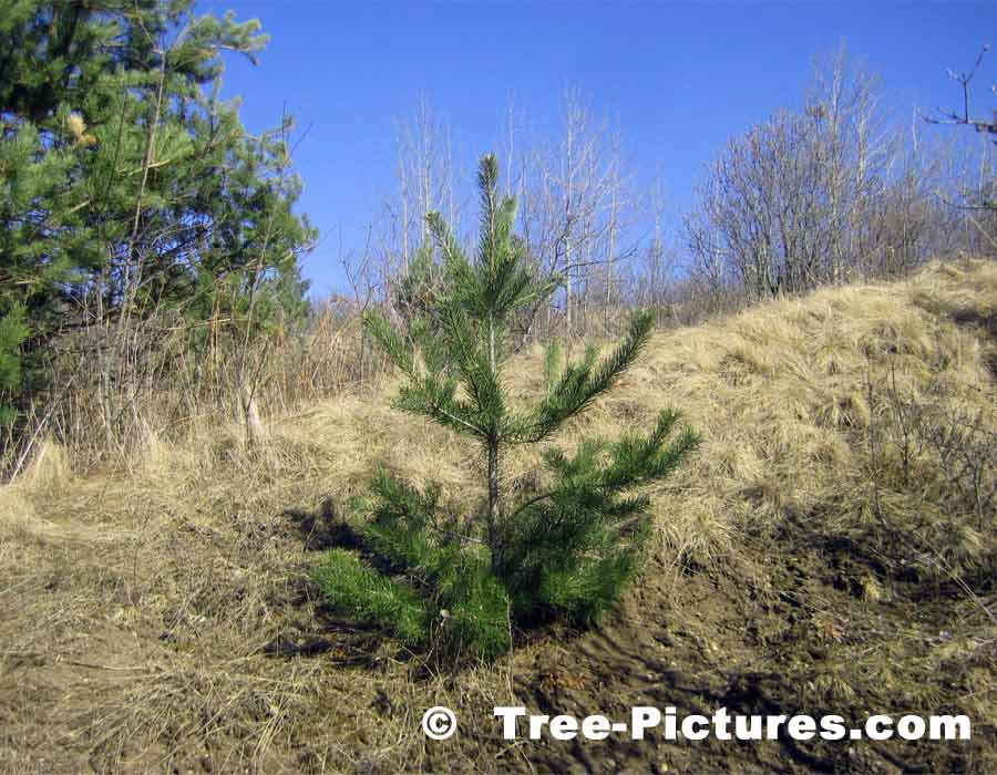 Pine Trees: Young Christmas Pine Tree| Pine Trees at Tree-Pictures.com