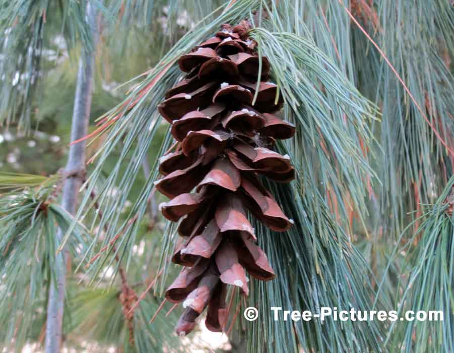 Pine Trees, Close Up Photo of a Pine Cone From the White Pine Tree | Pine Trees at Tree-Pictures.com