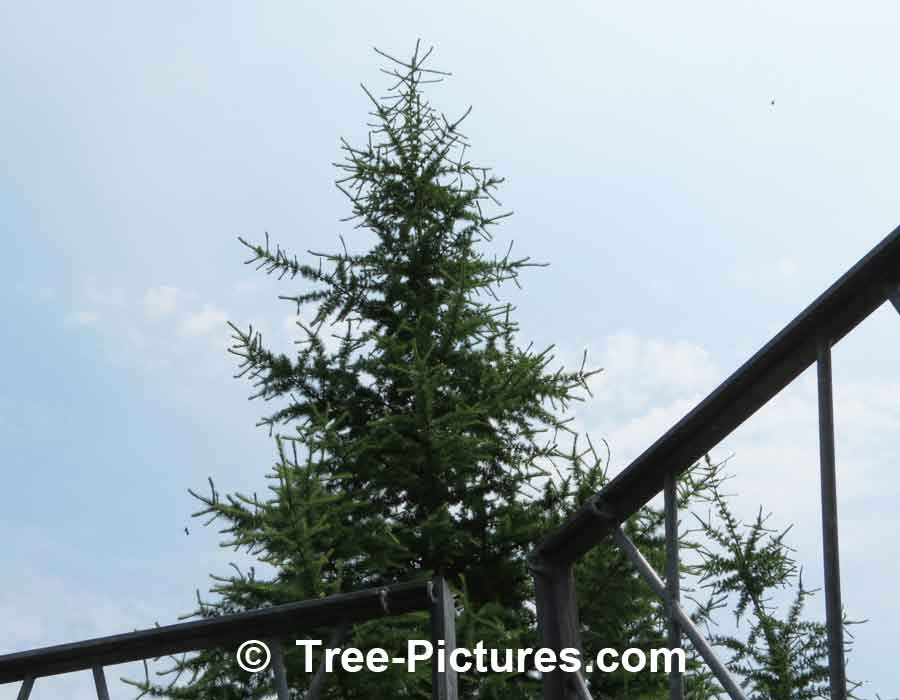 Pine Tree: Japanese Tamarack Type | Pine Trees at Tree-Pictures.com