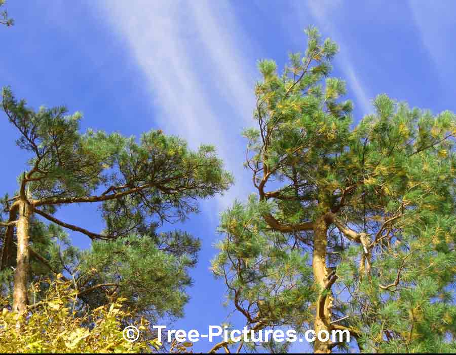 Pine tree pictures for Mature pine trees