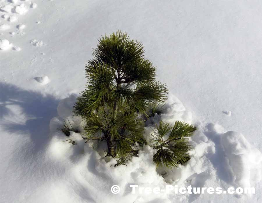 Different Types Of Christmas Trees Pictures