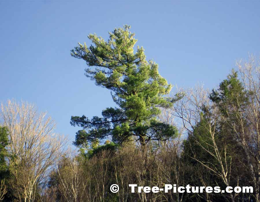 Pine Tree, Tall White Pine in the Forest | Pine Trees at Tree-Pictures.com