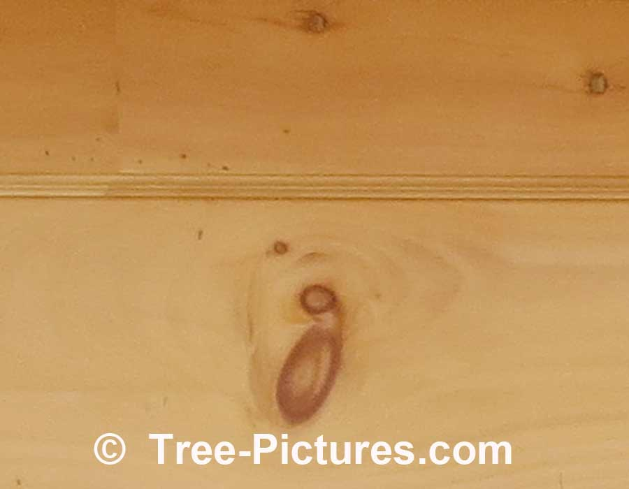 Pine Wood, Knotty Pine Cheap Wood Used For Household Repair | Pine Trees at Tree-Pictures.com