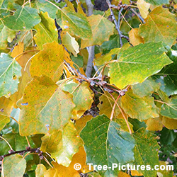 Pictures of Poplar Trees: Poplar Tree Leaf Identification