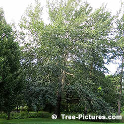 Poplar Tree Pictures: Poplar Tree Identification