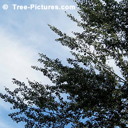 Pictures of Poplar Trees: Poplar Tree Leaves and Branches