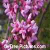 Red Bud Tree: Beautiful Red Pink Flowers Image | Tree:Red Bud+Flower at Tree-Pictures.com