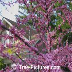 Redbud Tree Pictures, Pink Blossom of Redbud Tree