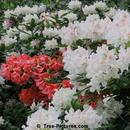 Rhododendrons, Rhododendron Photo of Colorful Red and White Rhododendron Shrubs