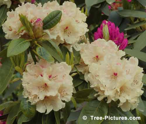 Rhododendrons, Impressive Rhododendron Pictures, Yellow Rhododendron in Full Bloom Pic