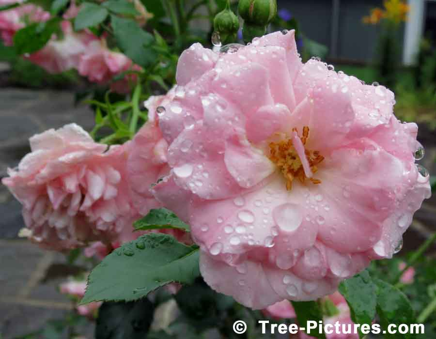 Roses: Picture of Pink Rose Shrub Flower with Rain Droplets | Roses at Tree-Pictures.com